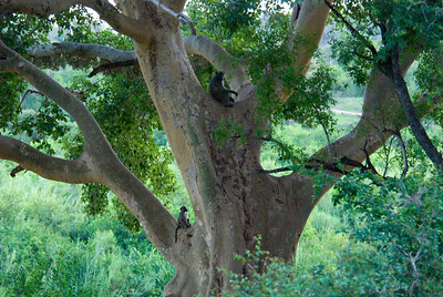 Baboon, Londolozi