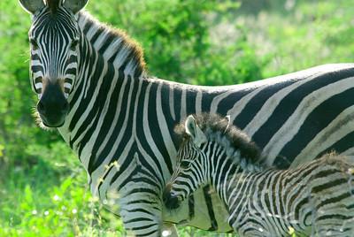 Zebra, Londolozi