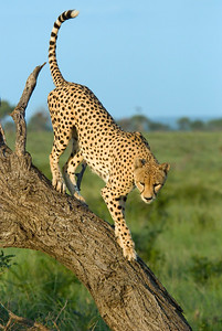 Cheeta in Londolozi.