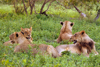 Young lions in the grass, Londolozi